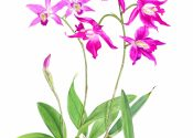 Laelia Orchid, botanical illustration by Susan Hillier