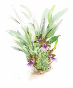 Zygopetalum Orchid, botanical illustration by Susan Hillier